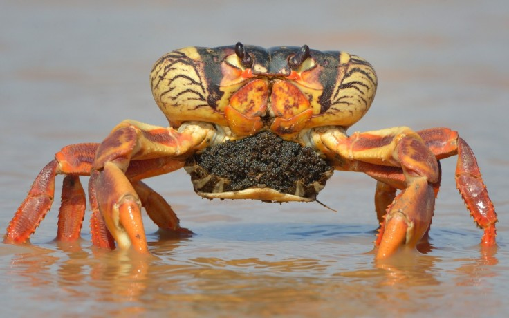 Blue Crabs protect our mangroves