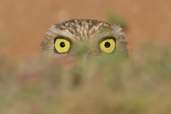 """'Shoco"""" Burrowing Owl"""