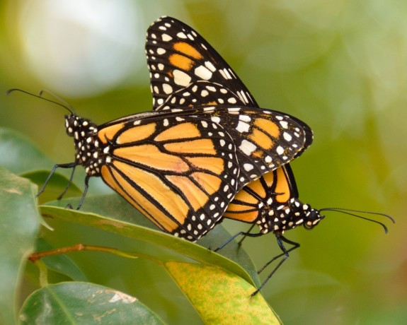 Monarch Butterflies - Central America route