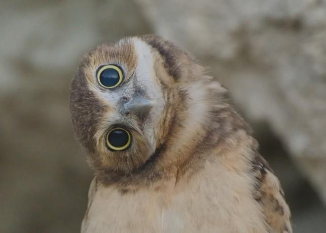 """Burrowing Owl """"Shoco"""""""
