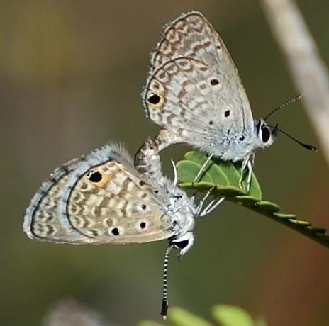 Hanno Blue Butterflies