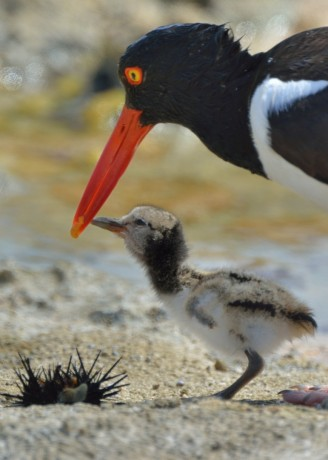 American Oystercatcher with fledgling