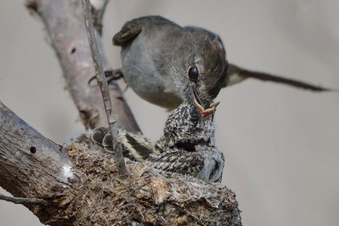 Northern Scrub Flycatcher