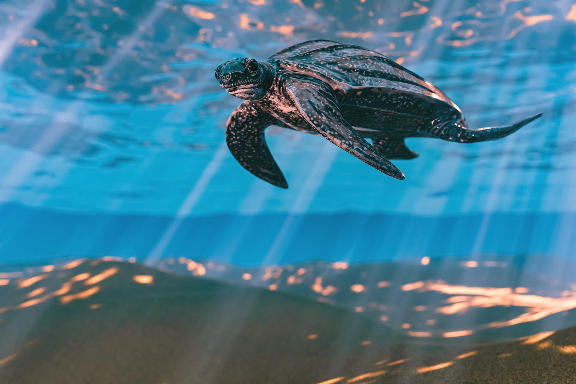 Celebrating Aruba's First Visitors - Sea Turtles